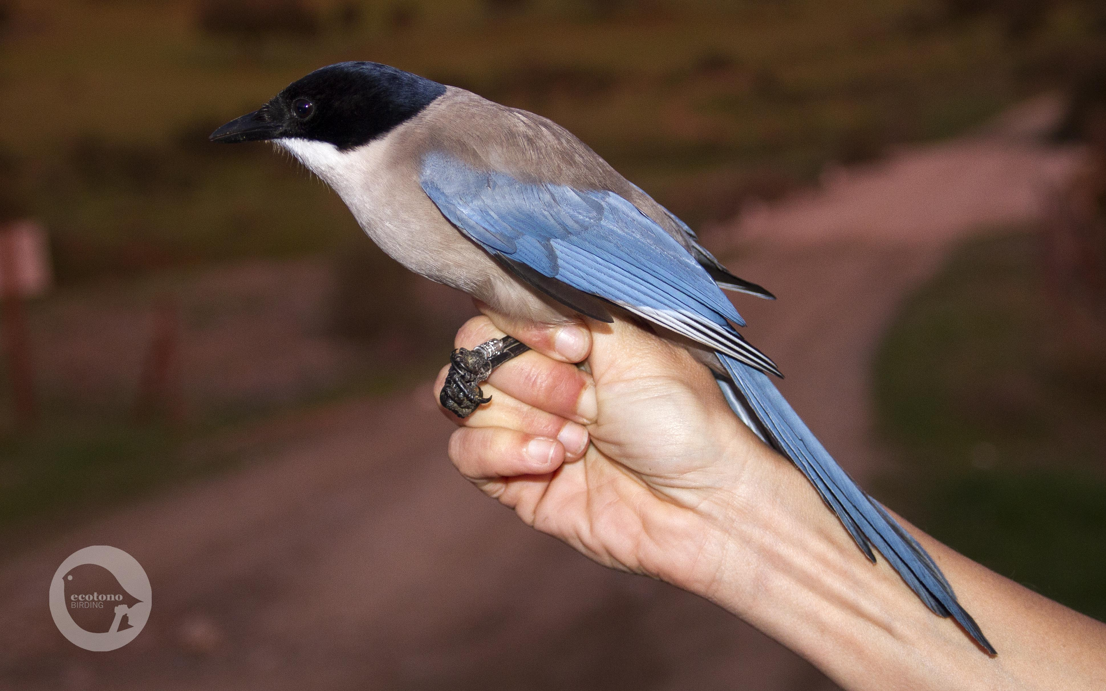 Azured winged Magpie