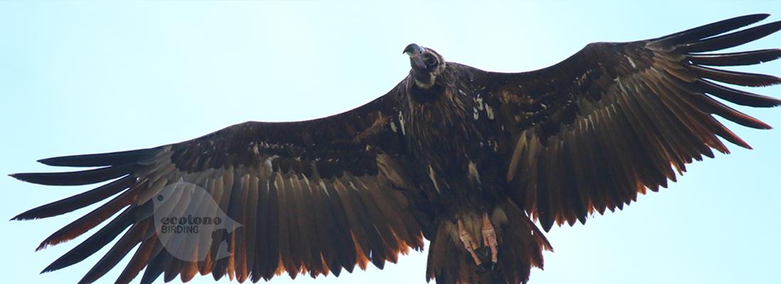 Black Vulture_Andujar_web_1100_400